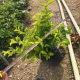 黄金叶苗价格 基地批发高度30公分黄金叶苗