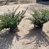 紫花萼距花价格 细叶萼距花盆栽 厂家直供
