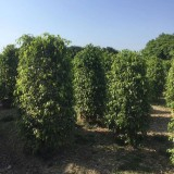 垂叶榕柱2米高价格 漳州垂叶榕柱苗基地批发