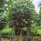 2米黄槿树 产地批发 10公分黄槿树价格表