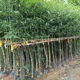 佛肚竹杯苗价格 头径4-5公分佛肚竹多少钱一棵