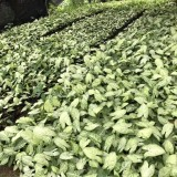 合果芋小苗多少钱一棵 合果芋产地批发价格