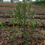 30厘米高石楠小苗价格 红叶石楠苗价格表