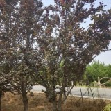 河北彩叶树种 紫叶李价格 紫叶李种植 基地批发