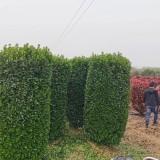 冬青柱多少钱一棵 1.5米法国冬青柱苗批发价格