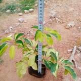 30公分澳洲鸭脚木多少钱一棵 福建鸭脚木小苗厂家出售