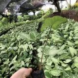 合果芋袋苗价格 合果芋供应商出售 福建基地批发