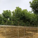 5公分白蜡树多少钱一棵 速生白蜡基地批发价格