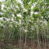 火炬树基地 4公分7公分10公分火炬树直销价格
