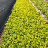 黄金叶绿化苗多少钱一棵 漳州基地批发黄金叶苗价格