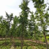 银杏树基地批发 6公分银杏树价格