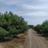 2米油松价格 油松基地直销 油松多少钱一棵