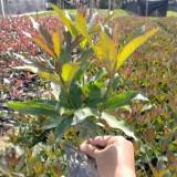 硬枝黄蝉的价格 福建硬枝黄蝉袋苗产地批发