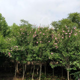3公分木槿苗价格 河北小木槿基地批发