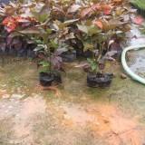 1年生红桑苗价格 福建红桑种植厂家批发