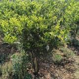 批发柑橘 10公分柑橘树价格 柑橘树小苗