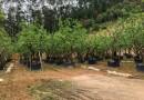 4米高柚子树价格 批发 福建柚子树小苗基地