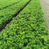 哪里有米兰花苗卖 35公分米兰花小苗批发