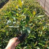 野牡丹袋苗价格 巴西野牡丹 漳州野牡丹苗圃直供