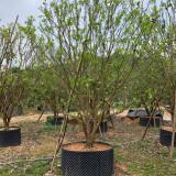 香泡价格 福建香泡树基地批发 4米香泡树多少钱