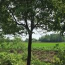 香樟树批发基地在哪里  安徽香樟基地批发价格