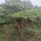 15公分造型油松价格 河北工程造型油松树批发