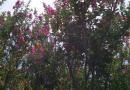30公分紫薇桩价格 福建紫薇树桩基地