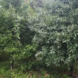 竹柏树苗6-10公分以上 自家竹柏树苗处理