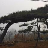 油松大苗 山东造型油松基地直供 20公分造型油松价格