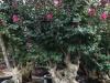 1米高紫薇樁景價格 1.5米高紫薇樁景批發 福建廠傢齣售