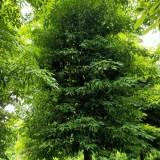 成都桢楠价格/图片  绿化苗木桢楠树批发 四川桢楠树