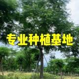 工程绿化凤凰木 供应凤凰木价格 移栽凤凰木哪里有