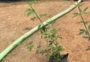 迎春花 黄素馨 金腰带 高度25公分批发价格