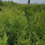 哪里有卖红豆杉小苗  红豆杉小苗批发供应