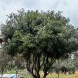 16公分清香木树价格 清香木树基地批发