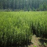 冠幅1.5米丛生木槿价格 丛生木槿种植基地