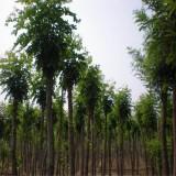 哪里有卖刺槐树苗的 刺槐树批发基地