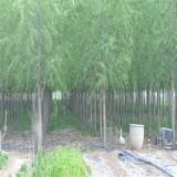 垂柳苗价格 批发 江苏垂柳树种植基地直销