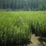 1米丛生木槿价格 江苏丛生木槿苗批发价格