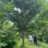 江苏榉树基地批发 榉树价格 榉树市场前景