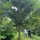 榉树多少钱一棵 榉树行情 榉树基地直销
