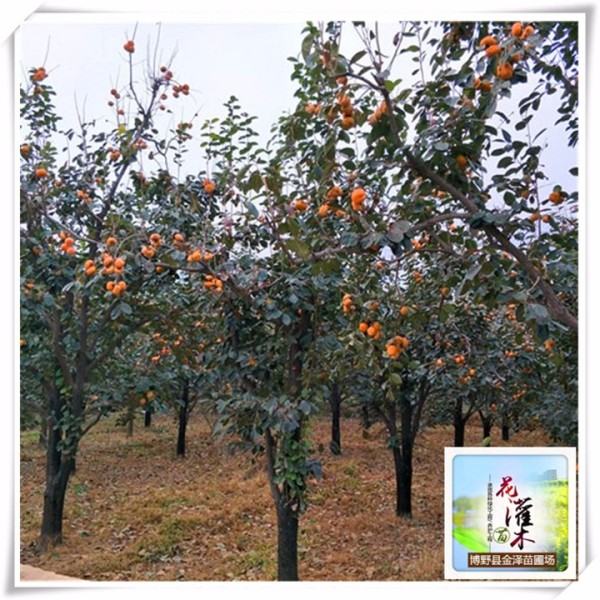 河北柿子树
