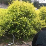 福建黄金香柳价格  黄金香柳绿化苗木