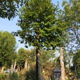 红果冬青树价格表 12公分红果冬青上车价