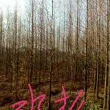 批发水杉 水杉树苗价格 基地供应价格表