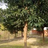 20公分香泡树价格 江西香泡树苗哪里有 价格行情