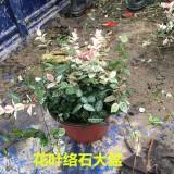 杭州哪里有花叶络石 花叶络石盆栽批发
