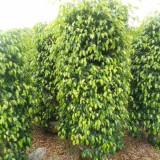 垂叶榕盆栽价格 批发1米2米3米高垂叶榕柱子造型树报价