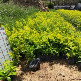 黄金叶杯苗多少钱  黄金叶工程绿化苗基地批发