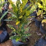 洒金珊瑚袋苗价格 福建洒金珊瑚苗圃供应